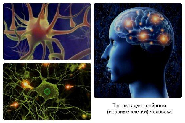 Поговорка о том, что нервные клетки не востанавливаются, соответствует истине
