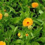 цветки и стебли календулы
