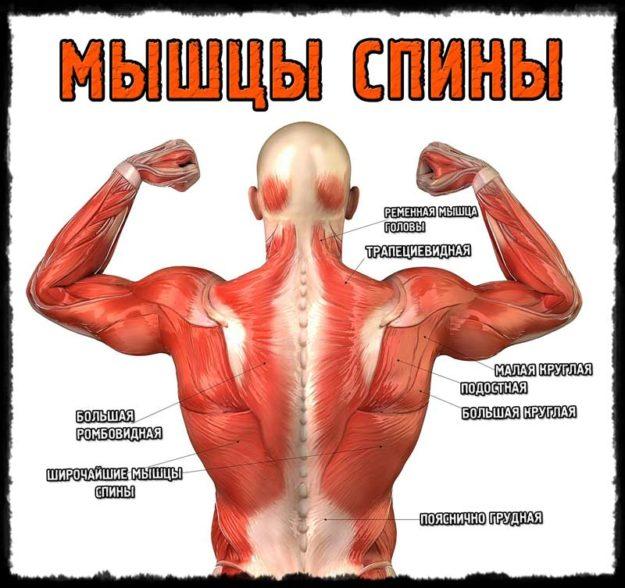 Спинные мышцы человека