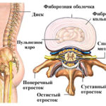 Анатомия межпозвоночного диска