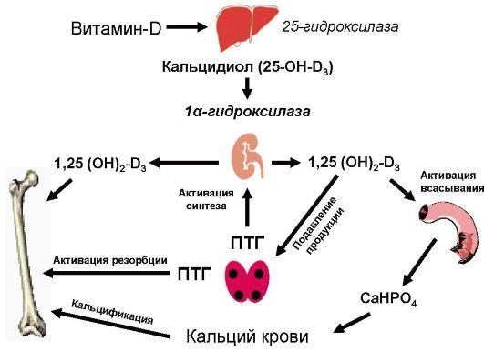 Схема фосфорно-кальциевого обмена