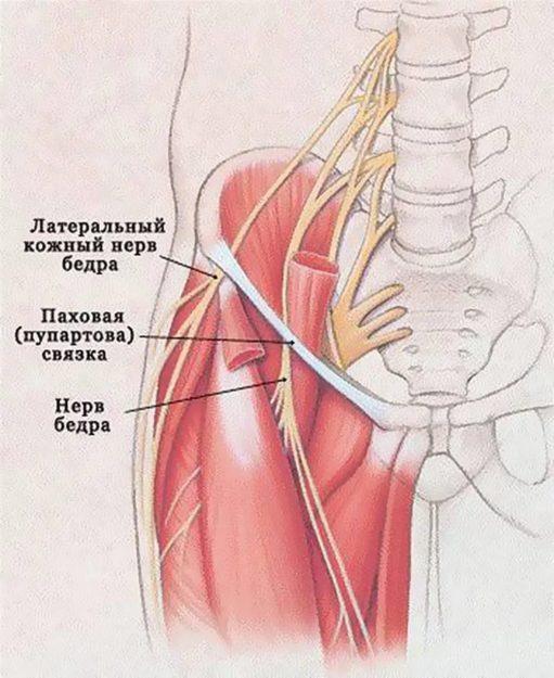 Схема иннервации (связи органов и тканей с ЦНС при помощи нервов) бедра