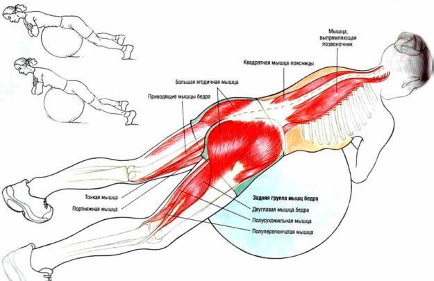Схема расположения мышц, задействованных в упражнении на фитболе