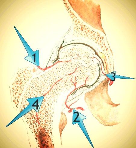 Кровоснабжение головки бедренной кости