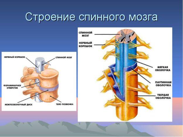 Спинной мозг